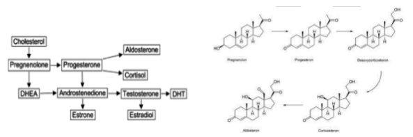 """Steroidhormone sind untereinander verwandt. Pregnenolon ist dabei das """"Großmutter Hormon""""."""