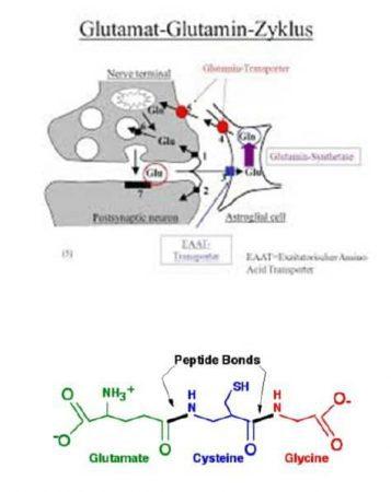 Der Glutamat-Glutamin-Zyklus