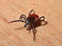 Die Lyme-Borreliose wird durch Borrelia burgdorferi, eine Bakterienart, ausgelöst. Meist sind es Zecken, die Borrelia burgdorferi auf den Menschen übertragen.