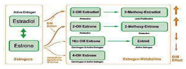 Indol 3 Carbinol bzw. DIM wirken auf den Östrogenstoffwechsel
