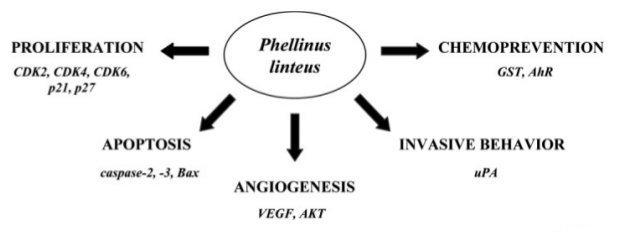 Phellinus Linteus (Sang Huang) als Krebsmittel