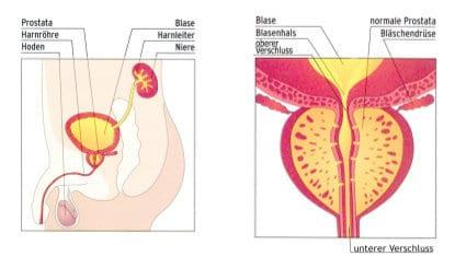 Anatomie und Lage der Prostata