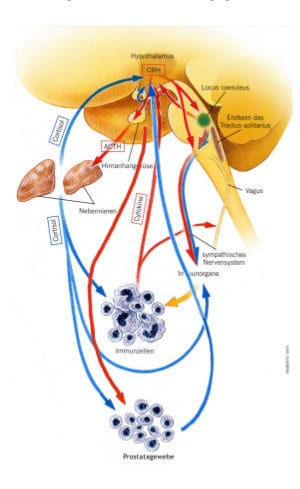 Wechselbeziehung im Hormonsystem