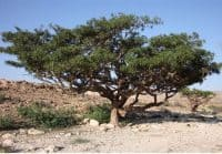 Der Boswellia Baum