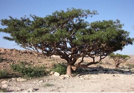 Boswellia serrata (Weihrauch) in der naturheilkundlichen Krebsbehandlung